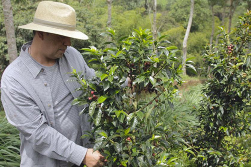 la esperanza cafeiculteur champs de café