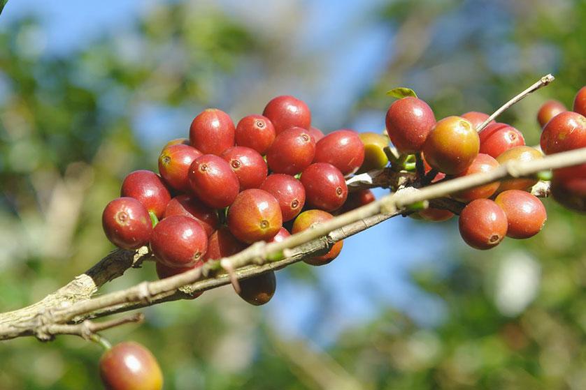 cerise de café ethiopie moka lekempti
