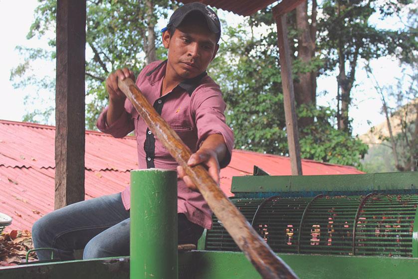 guatemala cafeiculteur tri cerises