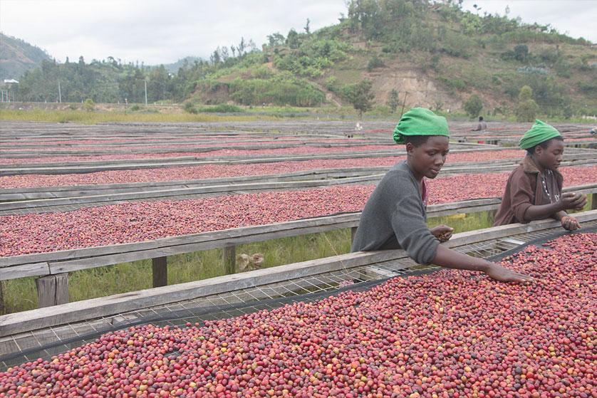 Rwanda - Ferme Gatare 331