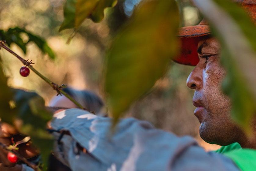 Cueillette du café à Santuario Sul au Brésil